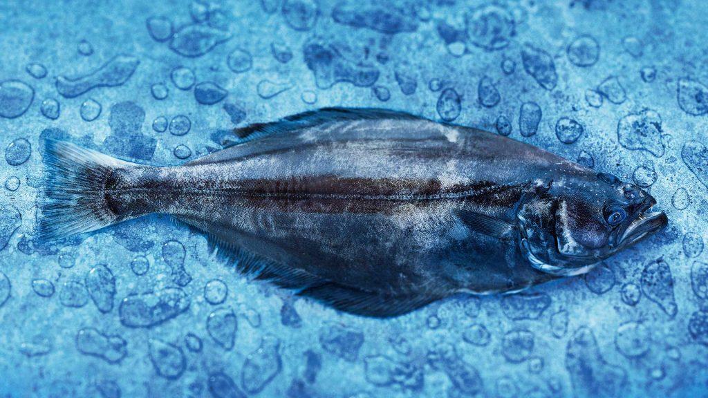 halibut-header